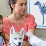 Veterinary Animal Diagram Whiteboard